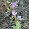 Orquídea abejera. Orchid