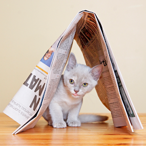 Hiding place by Mia Ikonen - Animals - Cats Kittens ( cat, kitten, tongue, peeking, finland, young, burmese, hiding, pet, adorable, feline, mia ikonen, newspaper )