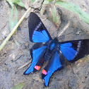 Blue Doctor  Rhetus periander