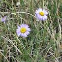 Pinnate-Leaved Daisy