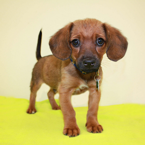 Jimmy by Sharon Scholtes - Animals - Dogs Puppies ( canine, green, brown, puppy, dog, black )