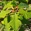 Wild Poinsettia, Poinsettia, Fire on the Mountain, Painted Leaf
