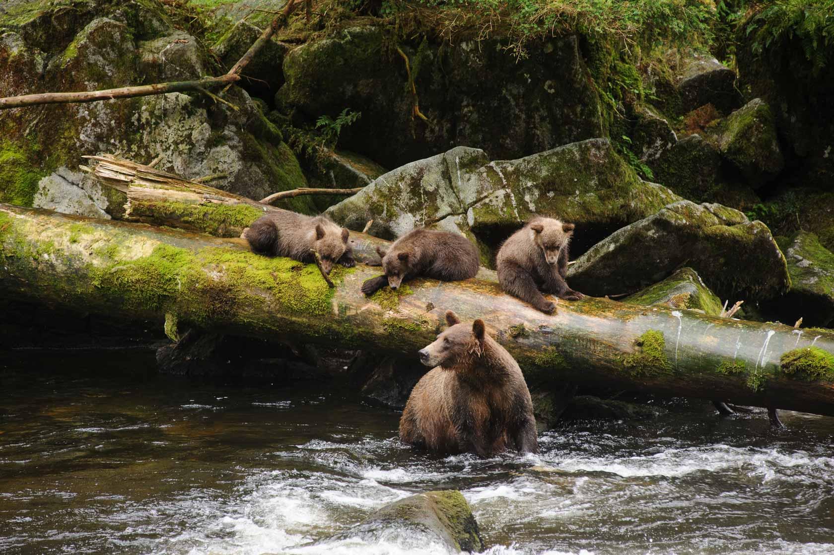 Coastal Brown Bear and Cubs, Anan Creek, Alaska
