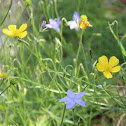 Tall Bluebell and Native Buttercup