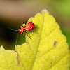 Cotton Stainer Bug (Nymph)