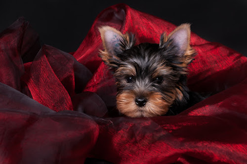 Rest in Red by Martin Zenisek - Animals - Dogs Puppies ( color, puppy, jorkshire terier, dog, black,  )