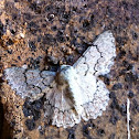White Looper Moth