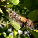 Unknown tussock moth pupa