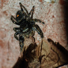 Bold jumping spider vs. moth