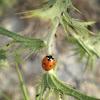 Mariquita. Ladybird