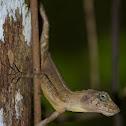 Agamid lizard