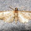 Common Eupithecia
