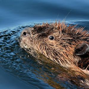 beaver in ocean 23 print ready.jpg