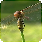 Real Dragonfly Live Wallpaper