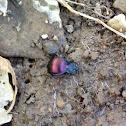 Eastern snail eater