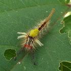 Tussock moth caterpillar.