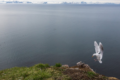 Living on the edge by Jonas Petersen - Animals Birds ( canon, edge, sea, wildlife, birds, photography, dyr, norway, fugle, gull, mountains, nature, polar måge, svalbard, norge, chicks, glaucous gull, animal,  )