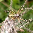 Tiger Spider