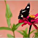 Great Eggfly, Male
