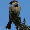 Sparrow (male)