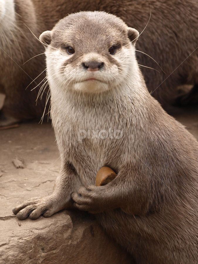 PWP1 by Garry Chisholm - Animals Other Mammals ( water, otter, chisholm, mammal, garry )