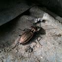 European Ground Beetle