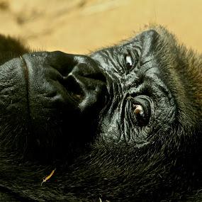 Gorilla  by Jack Goras - Animals Other Mammals ( wild, zoo, nature, nature up close, gorilla, nature close up, close up,  )
