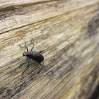 Arboreal Darkling beetle