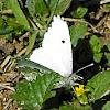 Falcate Orangetip (female)
