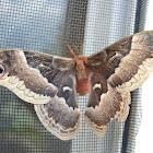 Promethea Moth (female)