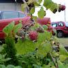 American Raspberry