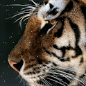 Tiger in snow icon