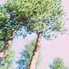 Dog wood pine
