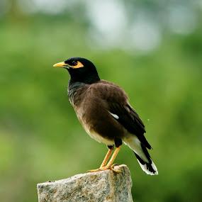 Myna  by Manjunath Nagesha Rao - Animals Birds