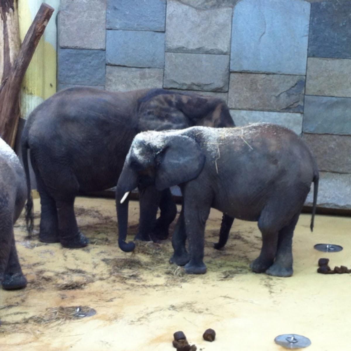 Afrikanischer Elefant, Steppenelefant / African Bush Elefant