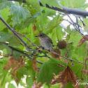 Spotted Flyspotter