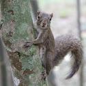Caxinguelê (Brazilian Squirrel)
