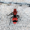 Red Velvet Ant a.k.a Cow Killer