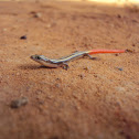 Dotted Writhing Skink(Juvenile)