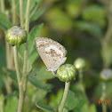 Plains Cupid Butterfly (dry season form)