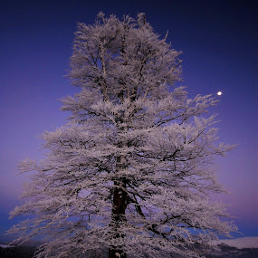Lonely tree in Muntele mic by Sámuel Zalányi - Landscapes Forests ( mountains, moon, winter, tree, snow, evening,  )