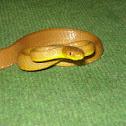 Tawny Cat Snake