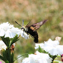 Snoberry clearwing hummingbird moth