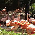 Chilean Flamingo and Caribbean Flamingo