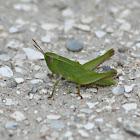 Short-winged Green Grasshopper