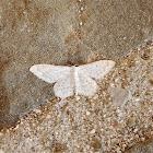 White Idaea moth