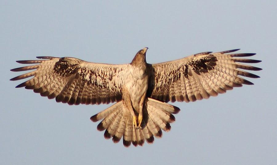Bonellis Eagle in fligt by Nitin Marathe - Animals Birds