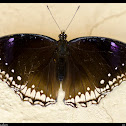 The great eggfly female