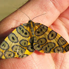 Leopard Moth.