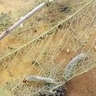 Undetermined skeletonizer caterpillar